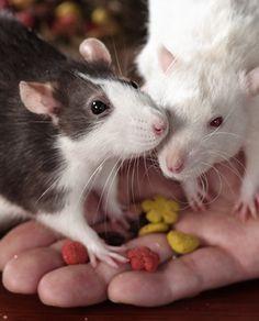 Cuteness again!! Can't wait to get some ratties when I get a house :)