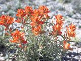 NPIN: Castilleja integra (Wholeleaf indian paintbrush)