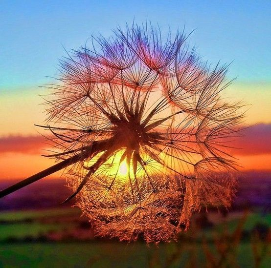 {oh, dandelion..a million little wishes blow across the sky} -KM