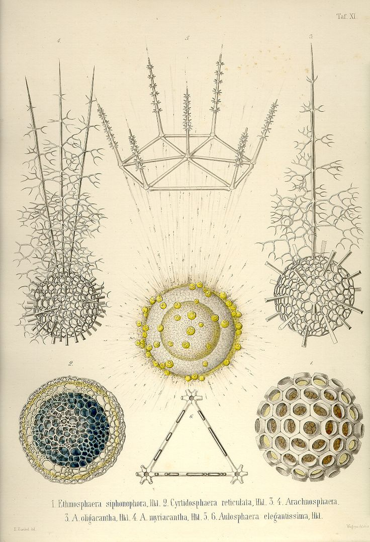 ERNST HAECKEL - Plate 11 Die Radiolarien  (Rhizopoda radiaria)  Berlin, 1862