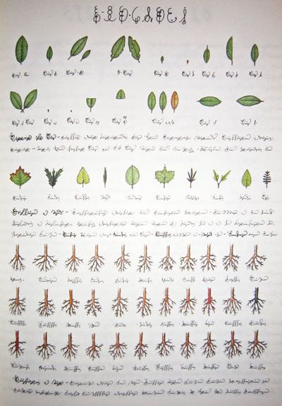 Seraphinius plant