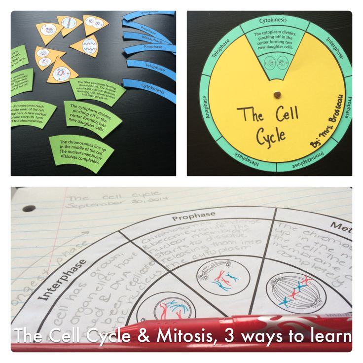 Learn about the Cell Cycle and Mitosis with this handy resource that works 3 ways: as a note, as a puzzle and as a spinner. Lots of variations to meet the needs of high-flyers and struggling students. Mrs. Brosseau's Binder blog.