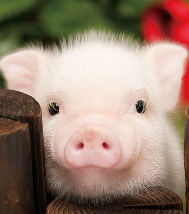 Pigs are pets