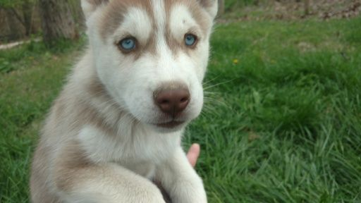 Litter of 3 Siberian Husky puppies for sale in CHARLESTON, IL. ADN-27389 on PuppyFinder.com Gender: Male. Age: 7 Weeks Old