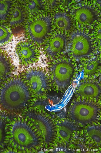Nudibranch on button polyp