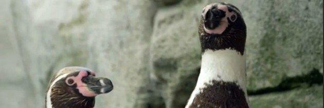 Pareja de pingüinos gay cumplen su 10 aniversario