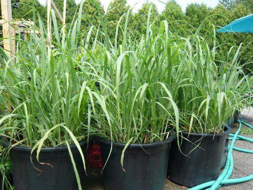 Amazon Com Lemongrass Rootstalk Cymbopogon Citratus 2 Live Plants Patio Lawn Amp Garden Let