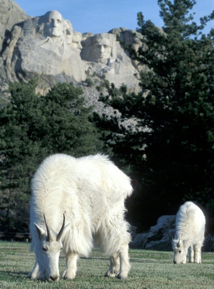 A couple of mountain goats eating peacefully under the watchful eye of four presidents, South Dakota, U.S.