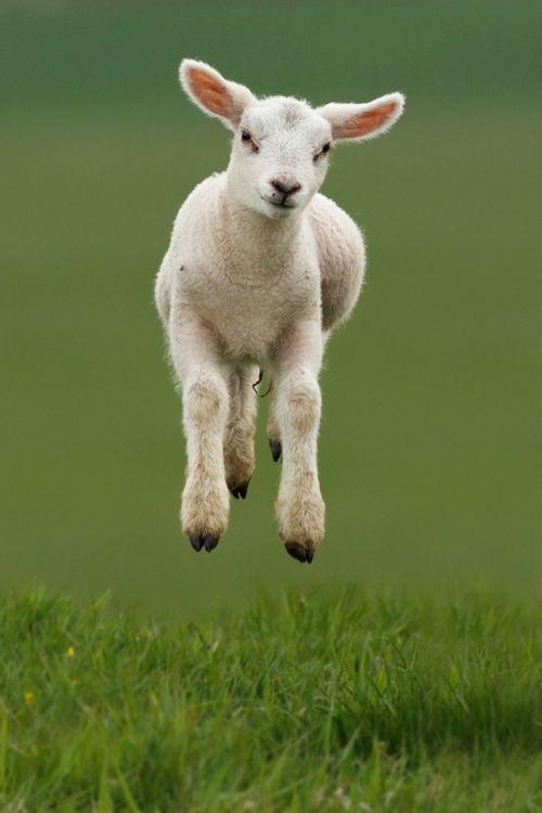 happy lamb | Love Animals | Pinterest