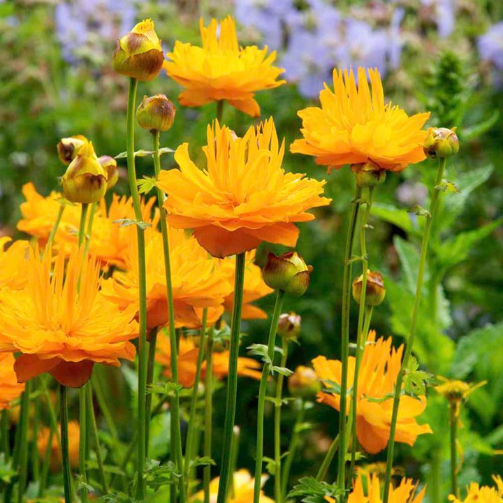 Plant perennials cut flowers gardening flower and vegetables 177 best perennial plants images mightylinksfo