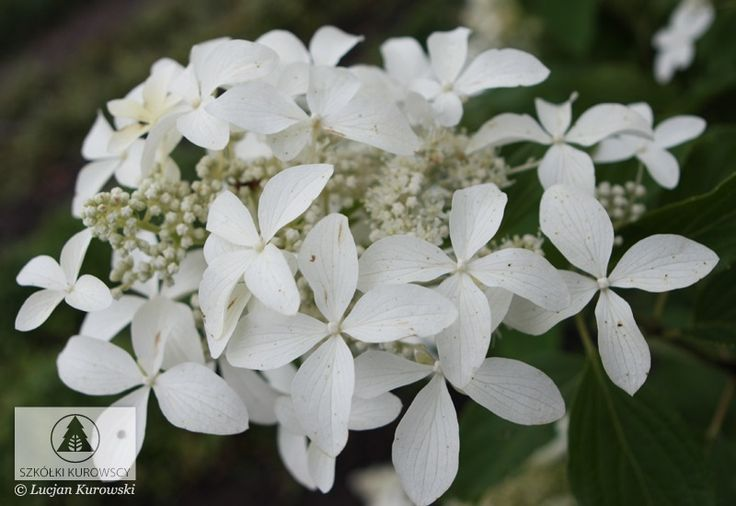 Hydrangea paniculata 'Le Vasterival' ('Great Star') ® PBR - Hortensja bukietowa 'Le Vasterival' ® ('Great Star') - Szkółki Kurowscy