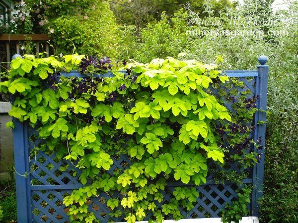 vertikale gärten grüne wand clematis gitter holz garten