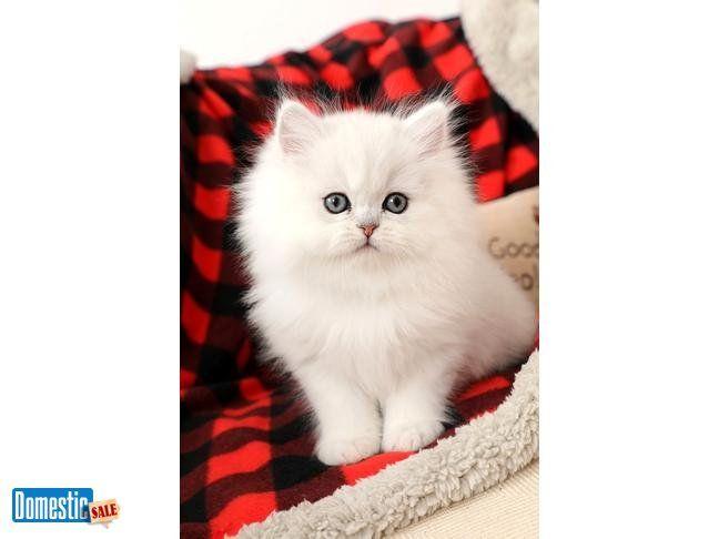 Pin By U ر O و J ف A ط M ہ On Outfits Persian Kittens Kittens