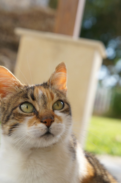 40 Best Images About Cat Breeds On Pinterest Cats