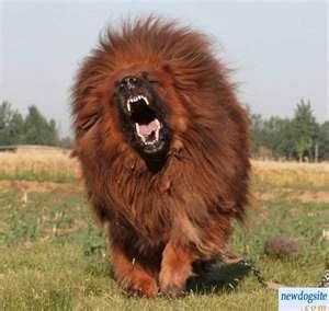 Tibetan Mastiff- the lion is angry lol