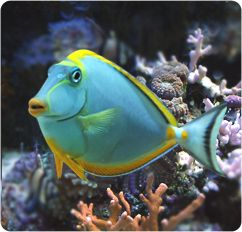 Blonde Naso Tang - looks like my fish, Blondie. She might not be too bright, but she sure is gorgeous.