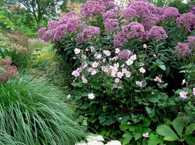 32 Best Images About Joe Pye Weed Eupatorium On