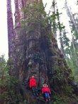 Big Cedar Tree - Quinault — Washington Trails Association
