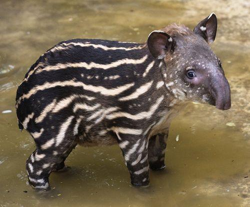 baby tapir love <3