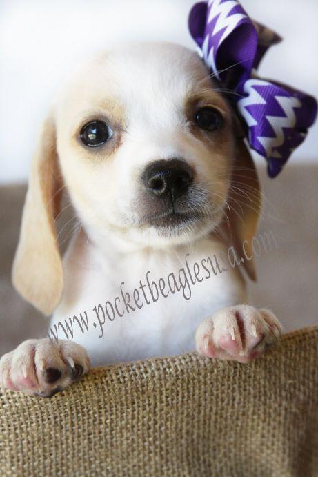 I found the perfect Pocket Beagle @ Pocket Beagles USA.com!!! My Dream Pocket Beagle. Tiny, Tiny Pocket Beagle!