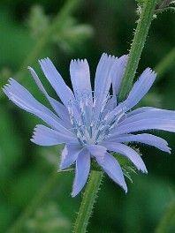 Die Wegwarte wächst mit ihren himmelblauen Blüten bevorzugt an Wegrändern. Dort wird sie häufig übersehen, weil ihre Gestalt luftig und durchlässig ist. Im Altertum und Mittelalter war die Wegwarte als Zauberkraut bekannt. Als solche war sie sehr wertvoll. Heutzutage kennt man die Wegwarte vor allem zur Stärkung der Verdauungsorgane, aber auch als Kaffeeersatz spielt sie eine wichtige Rolle.