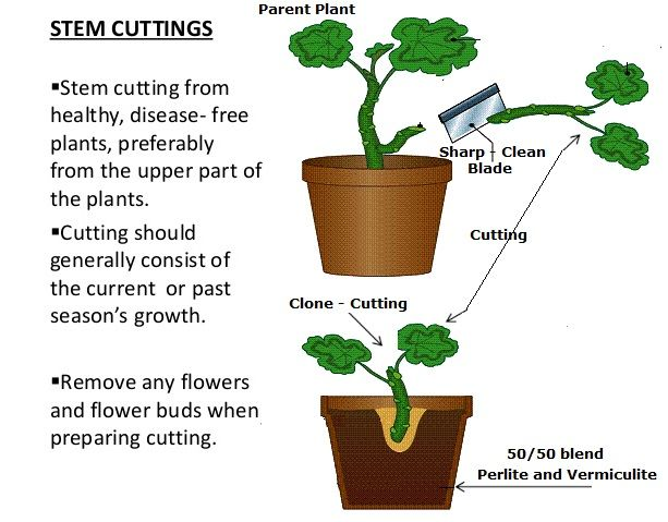 Producing New Plants from Stem Cuttings