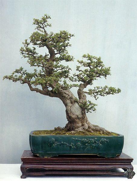 17 best images about bonsai on pinterest trees bonsai for Literati bonsai gallery