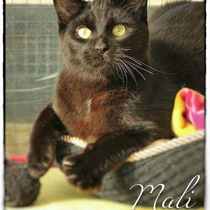 #PerleNoire @secondechance Avis à tous les gourmands.. et aux autres. Mali est un chat(on) noir aux reflets chocolat.  Il est câlin, joueur, gentil, doux, gourmand... C'est le chat parfait! Une envie de chocolat?  C'est par ici: http://leschatsdequiberon.forumactif.org/t2978-mali