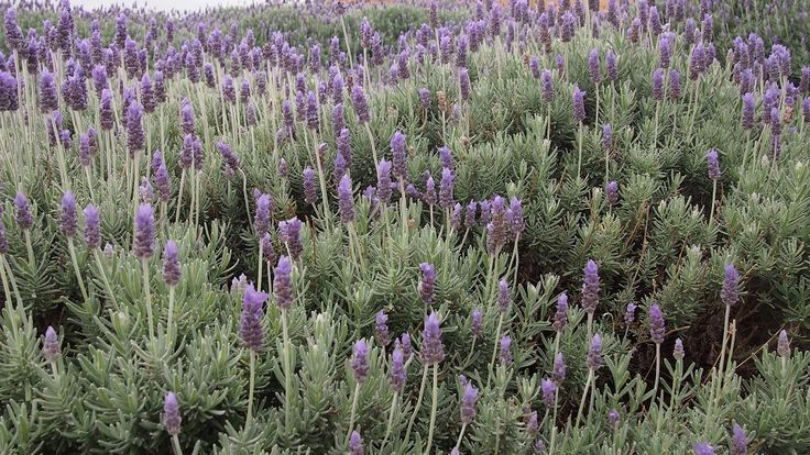 mass planting of lavender