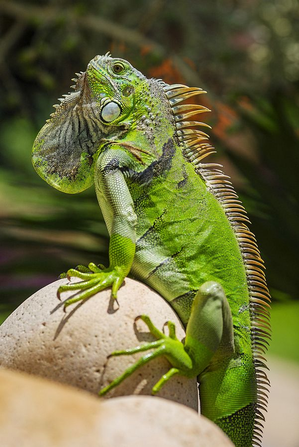 "500px / Photo ""Iguana"" by Daniel Stoychev"