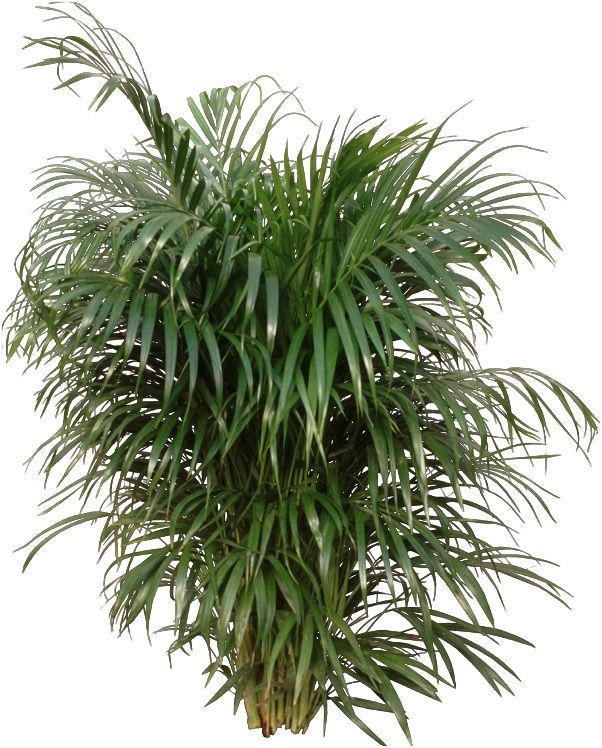 Q why do the tips of my areca palm turn brown a palm for Pictures of areca palm plants