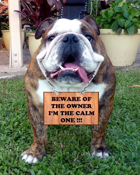 beware of the owner / english bulldog