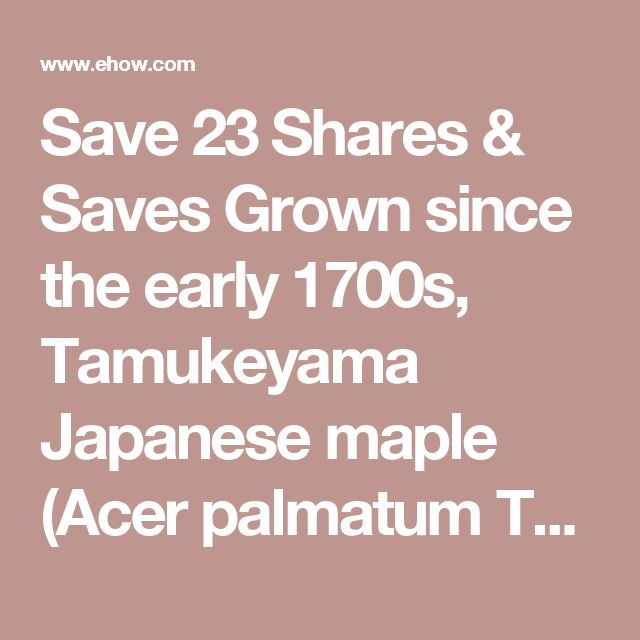 Save 23 Shares & Saves  Grown since the early 1700s, Tamukeyama Japanese maple (Acer palmatum Tamukeyama) is a small cutleaf cultivar with moderately dissected, seven- to nine-lobed leaves. Leaf color is reddish-purple in spring and summer, turning to crimson red in fall. The mounded, weeping tree grows 8 to 10 feet tall and 12 feet wide, making it a perfect specimen plant for small gardens. Tamukeyama Japanese maples are hardy in USDA plant zones 5 through 8.