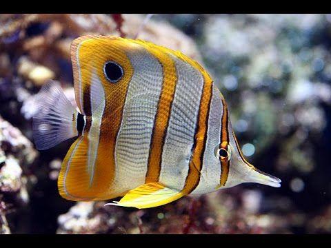 Аквариумная рыбка, Бабочка пинцет, Носатый хелмон, Chelmon rostratus