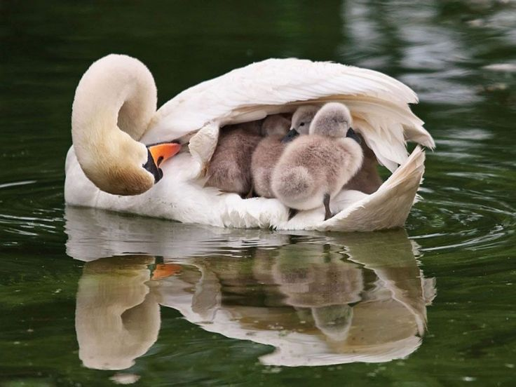 I liked these photos. I'll love you too, like me. I share with you the beautiful swan scenes in this photo gallery.