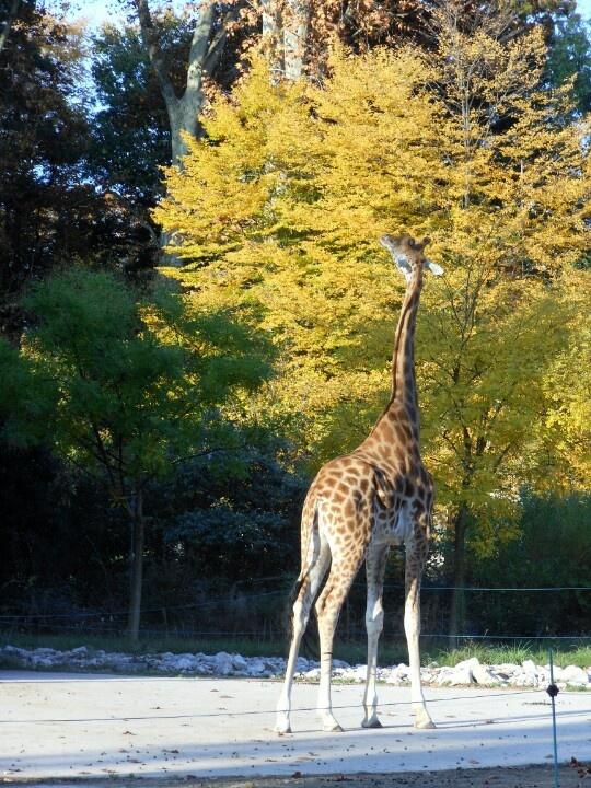 Giraffe at Parc de la Tête d'Or, Lyon