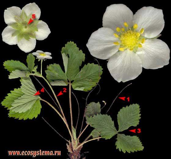 Земляника обыкновенная, или лесная — Fragaria vesca L.