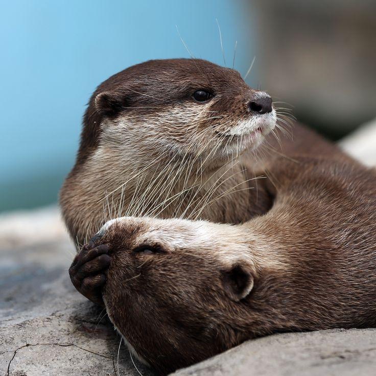 sasaq:  (via かわうそ初心者のブログ | 姫路セントラルパーク お日さまブラザーズとチップ父さん)  What a lovely otter embrace