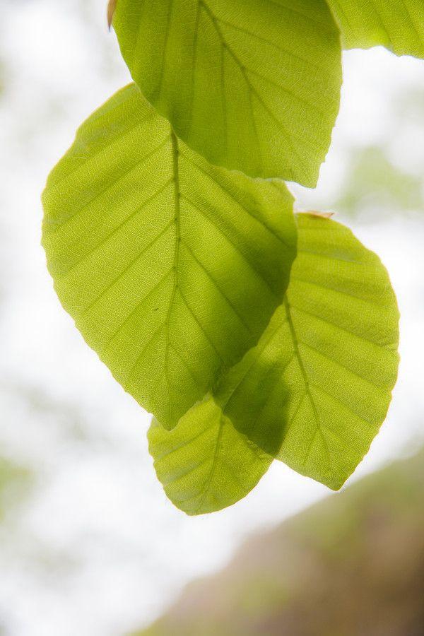 Les feuilles printannières sont à croquer (hêtre, foyard, fagus sylvatica)