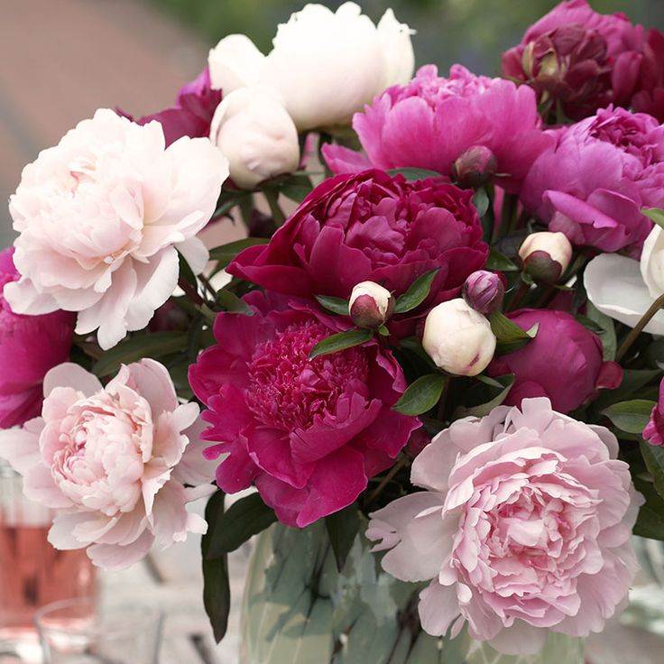 Peony Cutting Doubles – Perennials | Spring Hill Nurseries