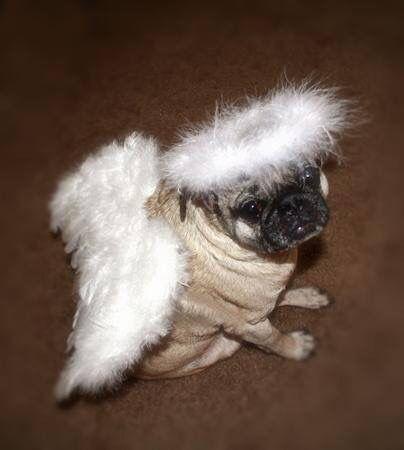 Pug Dog Wearing An Angel Costume Dogs Pugs Pinterest