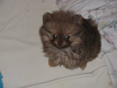 pomeranian rescue oregon 1000 ideas about puppy for adoption on pinterest 9376