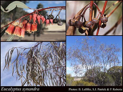 Eucalyptus synandra 4-5m