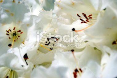 White Rhododendron Background Royalty Free Stock Photo