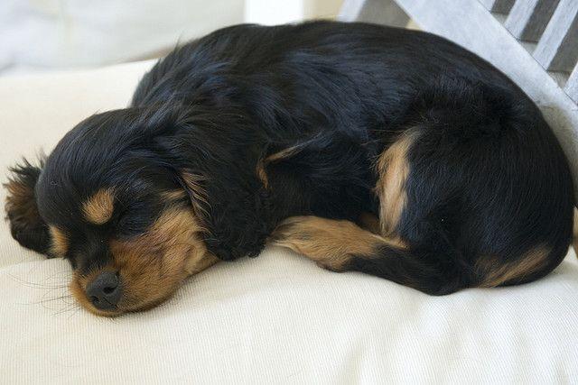 Cavalier King Charles Spaniel puppy | Flickr - Photo Sharing!