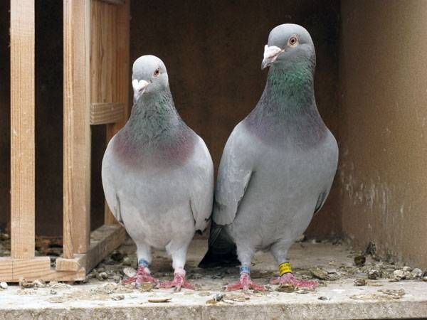 Home Remedies To Get Rid Of Pigeons