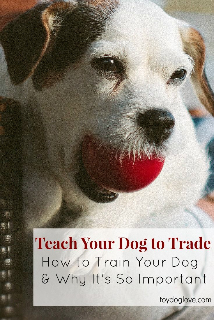 3 Steps to Teach Your Dog to Trade (and why it's so important)