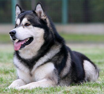 The dog I will have one day. Alaskan Malamute