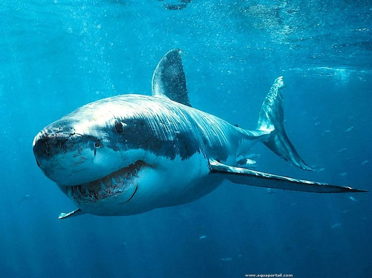 Après quelques jours dans un aquarium, un grand requin blanc décède.