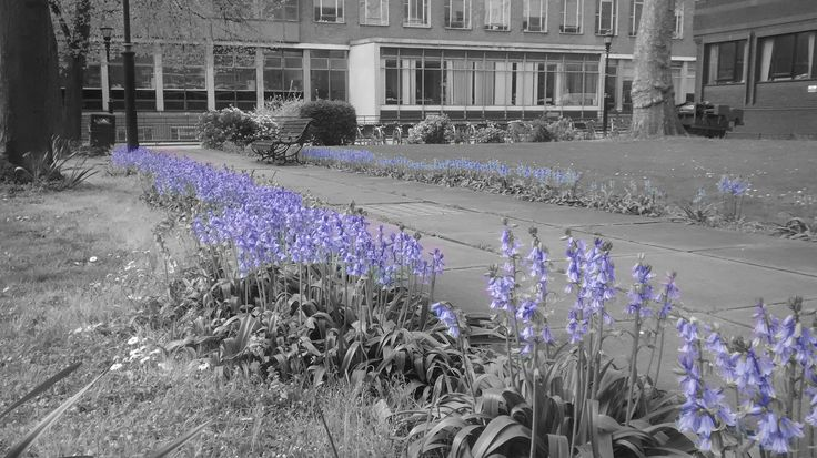 Bluebells highlighted along the central path. Photograph and editing by Dr Michael Allen